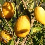 Citron/Etrog (Citrus Medica)